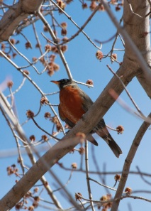 Robin in the maple