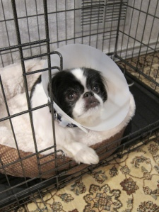 Buddy after his bladder-stone surgery