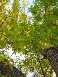Caramillo leaves
