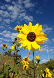 Sunflowers just off a bike path in south Flagstaff.