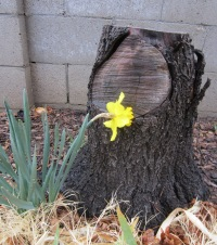 The daffodils are enjoying this damp weather, which arrived a little late for this ex-tree.