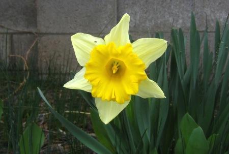 daffodil-03222016