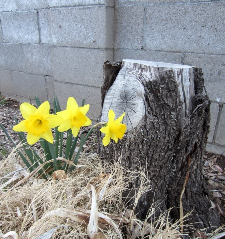 The daffodils are popping up.