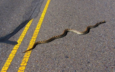 I think this is a Sonoran gopher snake, but s/he was fixin' to be an ex-snake if someone didn't get him off the road.